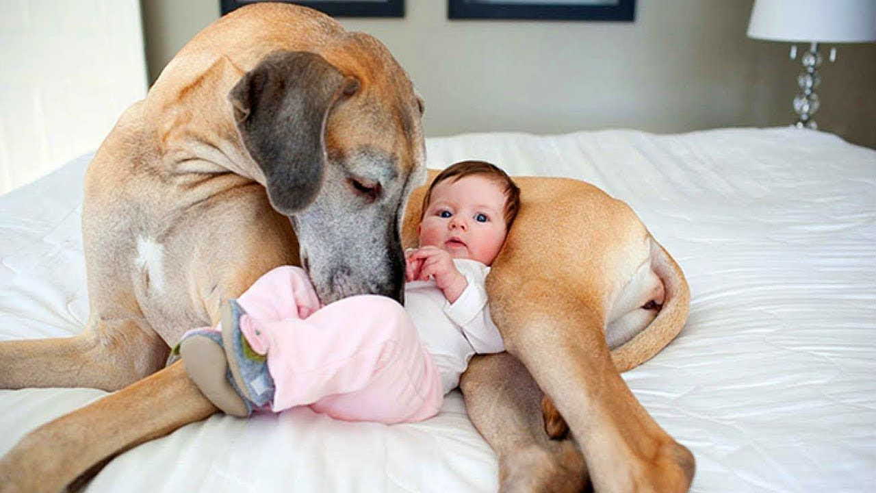 Cute Dogs Babysitting Babies Compilation Youtube
