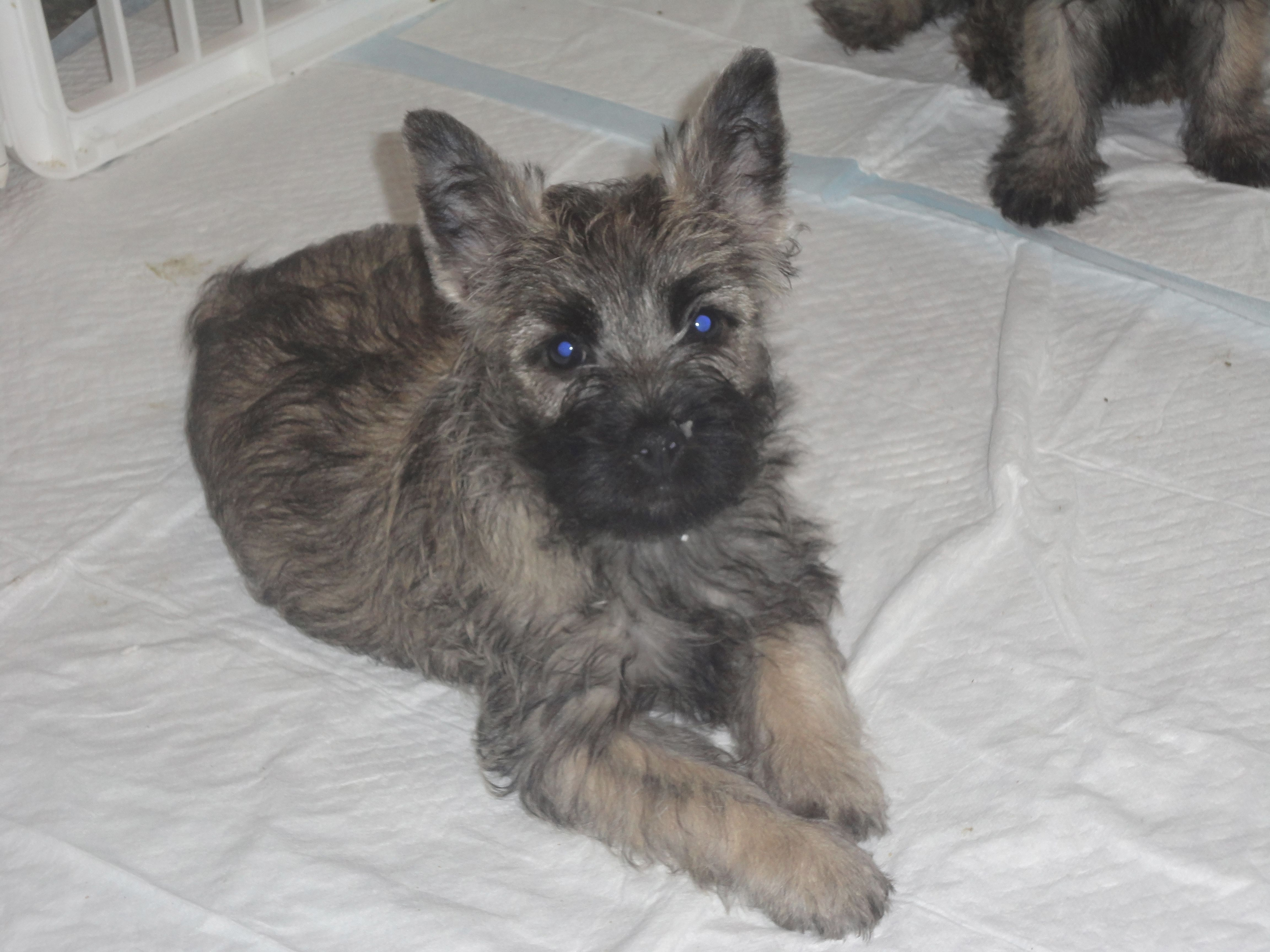 My New Puppy We Pick Him Up Sept 2 Cairn Terrier Puppies
