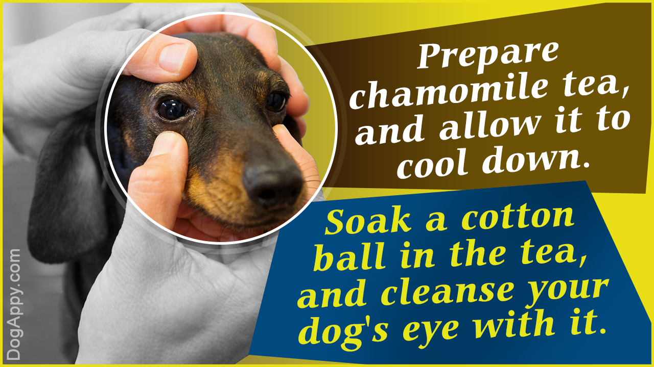 Dog Eye Infection Home Remedies Eye Infections Sinus Infection Eye Infection In Dogs