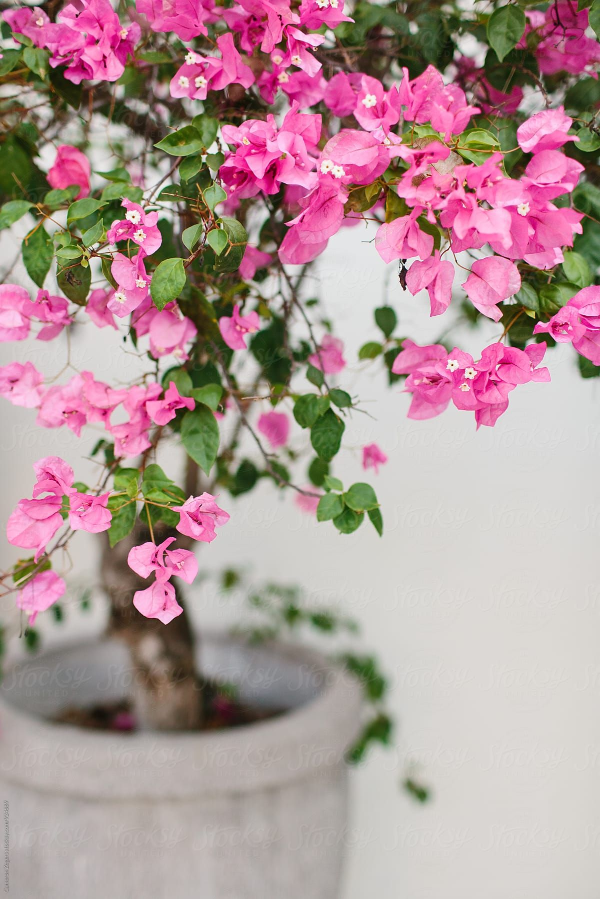 Pretty Pink Flowering Tree In Pot By Cameron Zegers For Stocksy United Pink Flowering Trees Potted Trees Flowering Trees