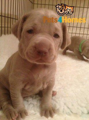 Weimaraner Puppies For Sale Kc Registered Weimaraner Puppies