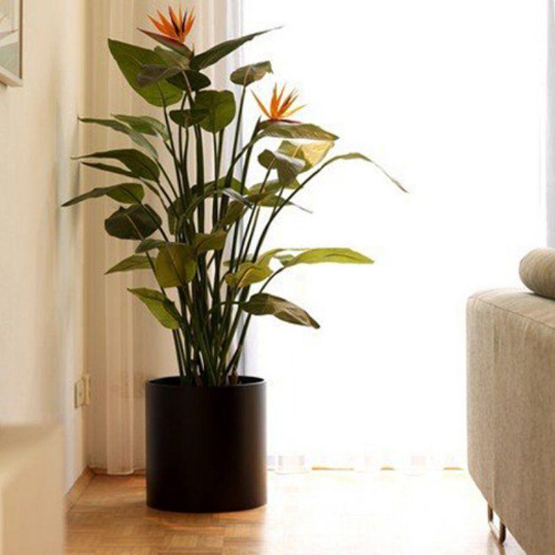 bird of paradise indoor plant