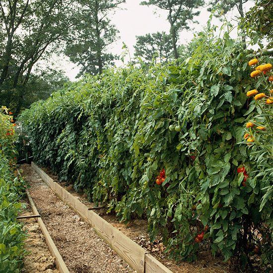 15 Fun Ideas For Growing Tomatoes Vegetable Garden