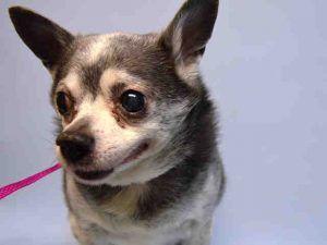 Pecan Pie A1106398 Dog Adoption Pets Animal Lover