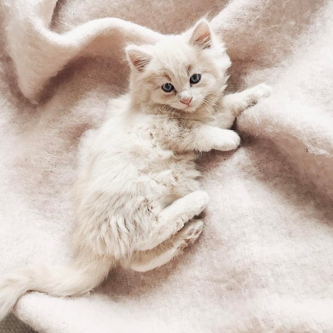Maine Coon vs Norwegian Forest Cat White kittens Baby animals and
