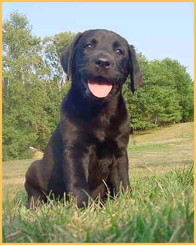 Welcome To Puddleduck Retrievers Get A Black Yellow Or Chocolate Lab Puppy We Specialize Labrador Retriever Puppy Labrador Retriever Chocolate Lab Puppies