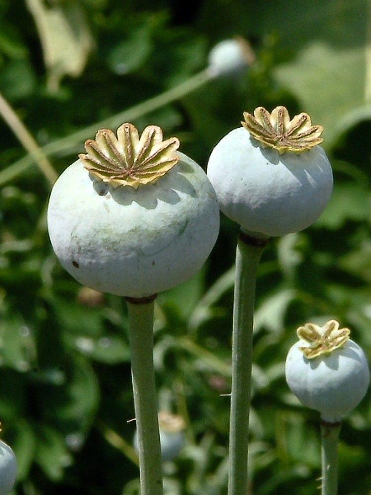 Poppy Papaver Somniferum Opium Poppy Go Botany Crytpo Fauna