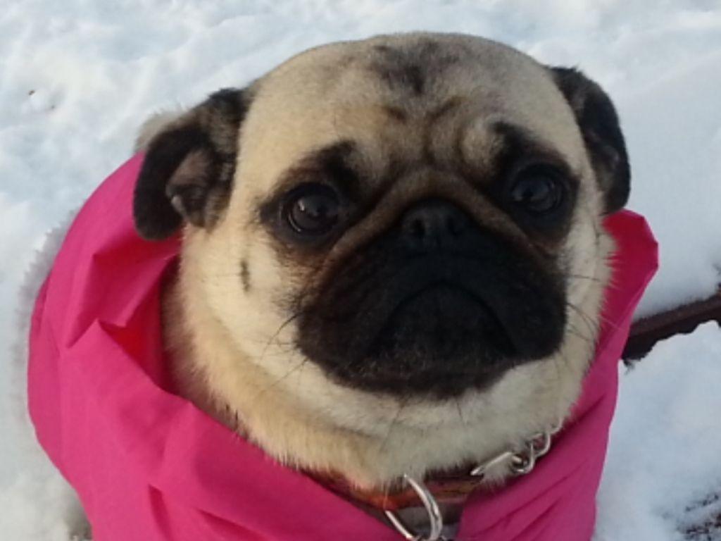 Little Lulu In The Snow Pugs Not Bombs Pugs Pug Mug Cute