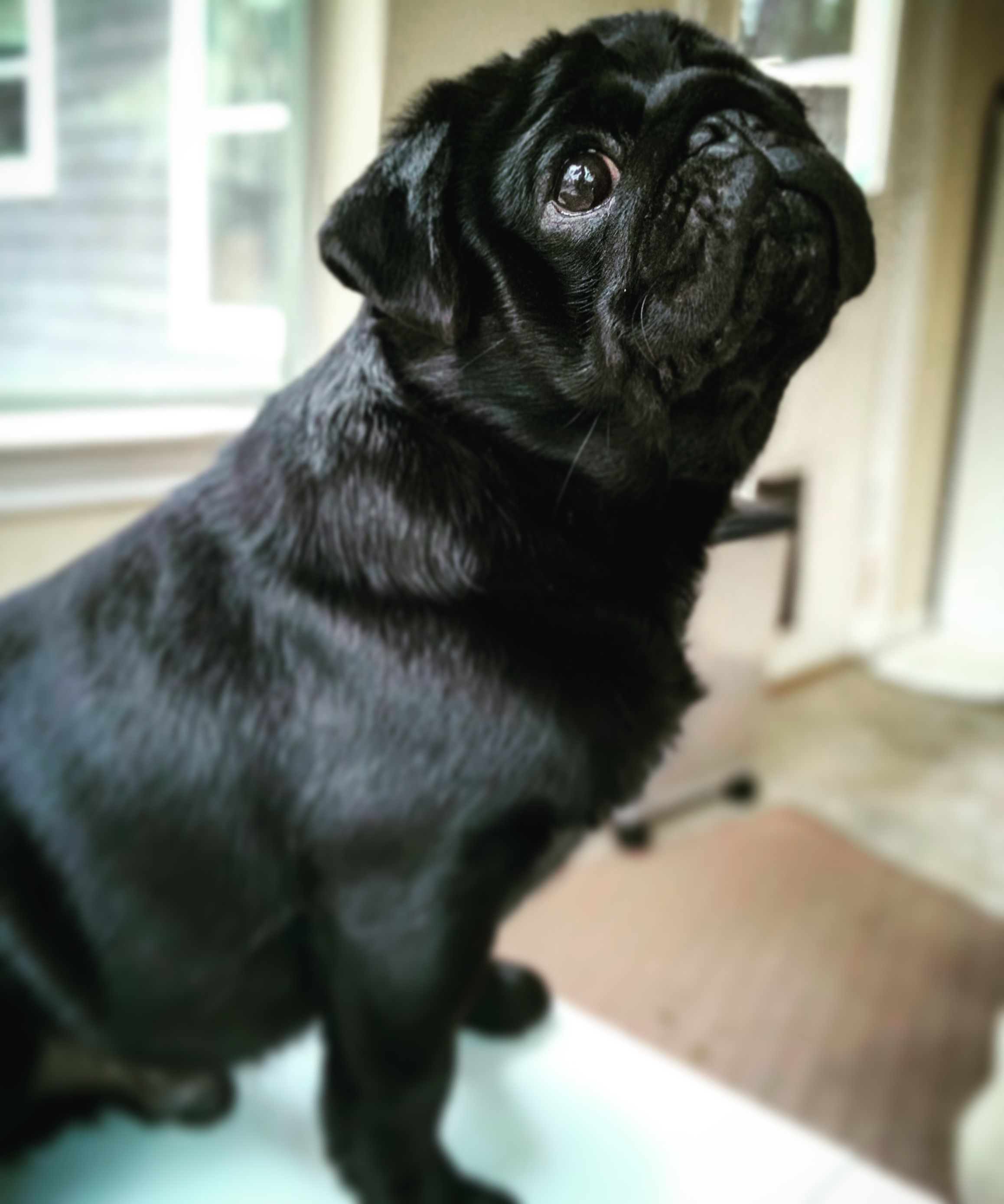 Image By Janelle Macintosh On Pug Galore Black Pug Puppies