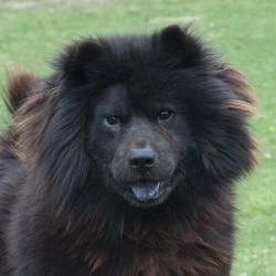 Wvirginia A Chow Chow In Need Of Rescue At Wetzel County Animal