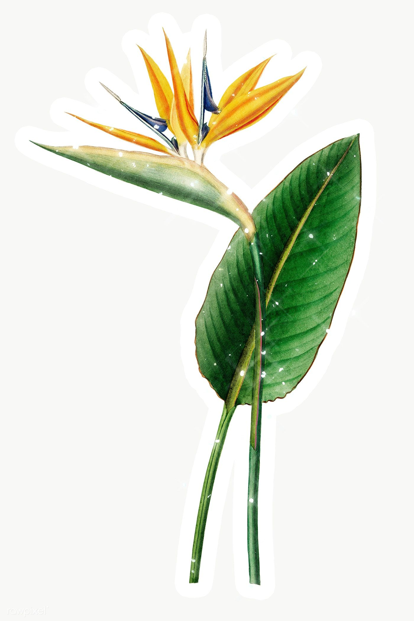 Hand Drawn Sparkling Bird Of Paradise Flower Sticker With White Border Free Image By Rawpixel Com Manotang