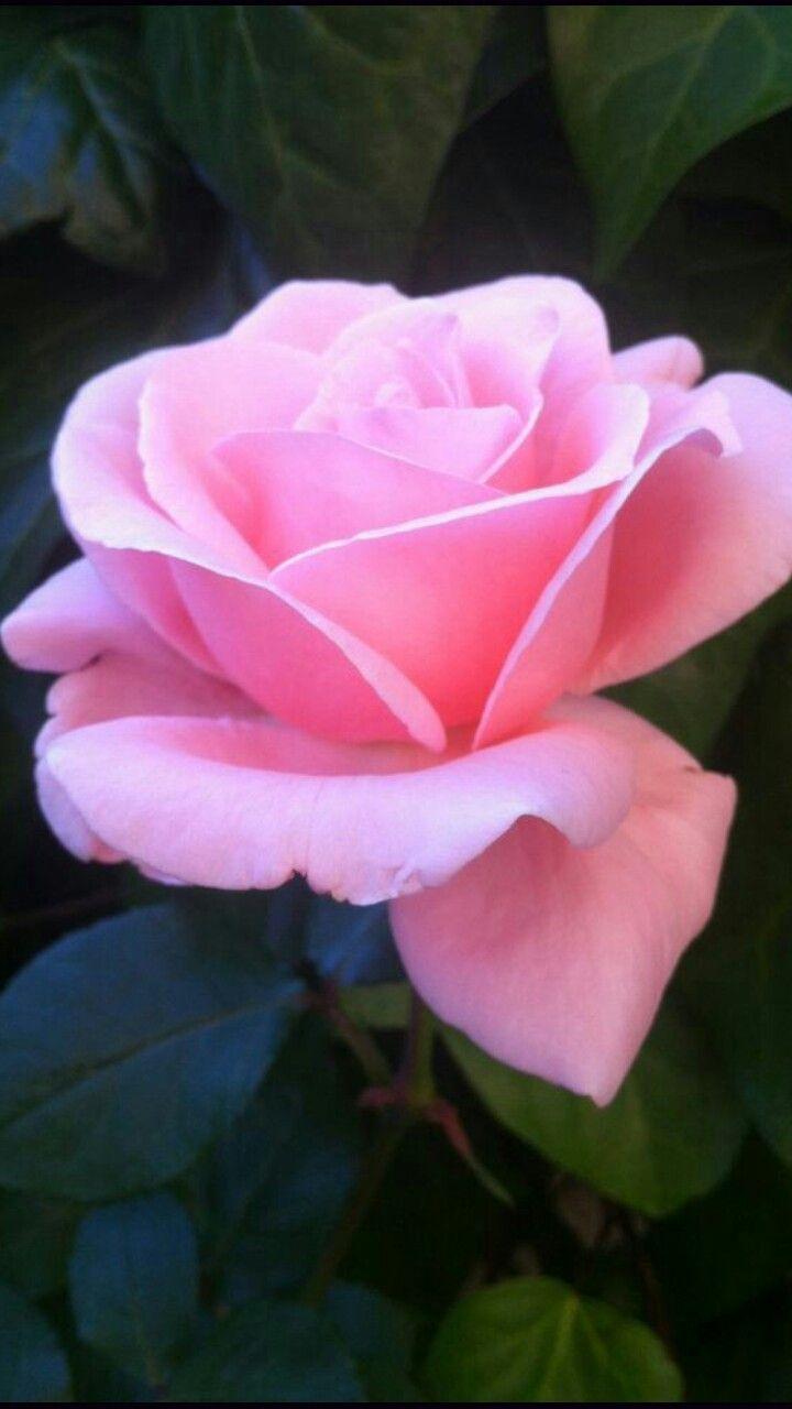 Beautiful Pink Rose Pink Roses Beautiful Roses Beautiful