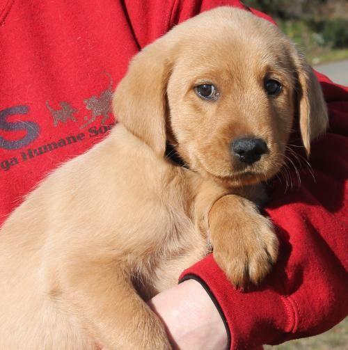 Meet Major 22058 A Petfinder Adoptable Labrador Retriever Dog Prattville Al Major Is A 2 Month O Save A Dog Labrador Retriever Puppies Labrador Retriever