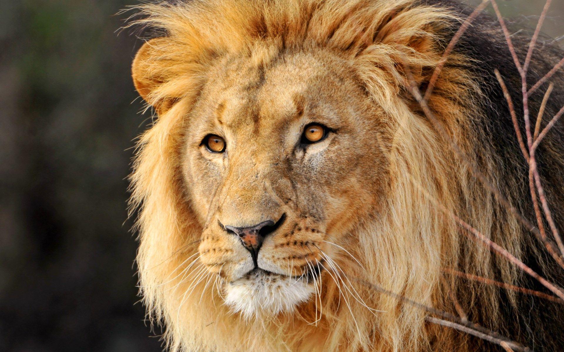 Lion Ipad Wallpaper Retina