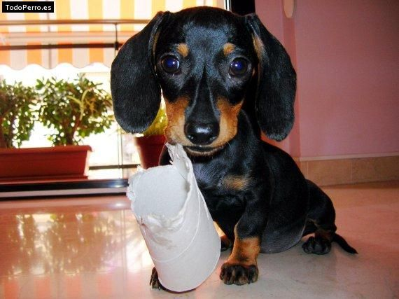 Doxies Can Make A Toy Out Of Anything Stinkin Adorable Best
