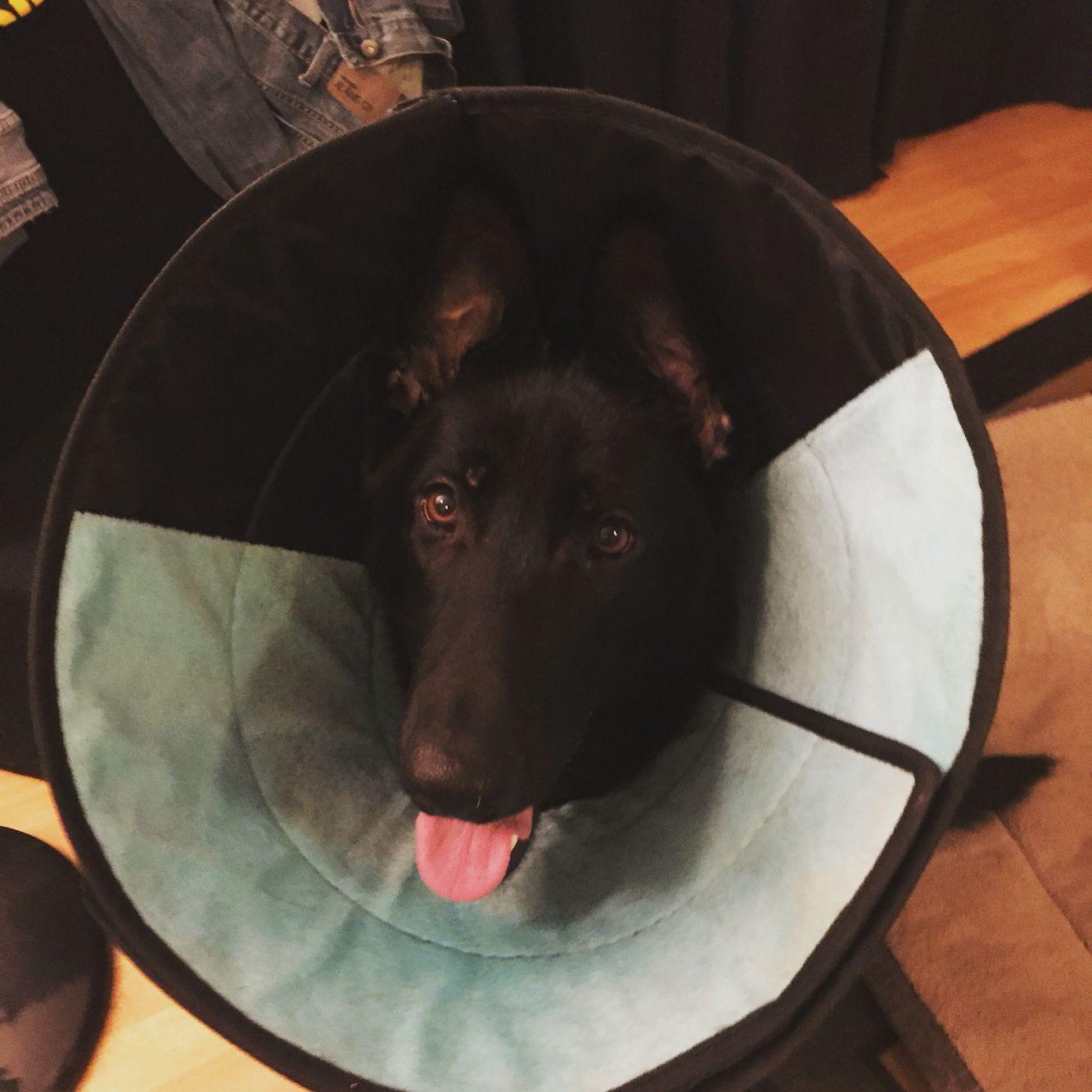 Derby Wearing The Cone Of Shame German Shepherd Dog Lovers