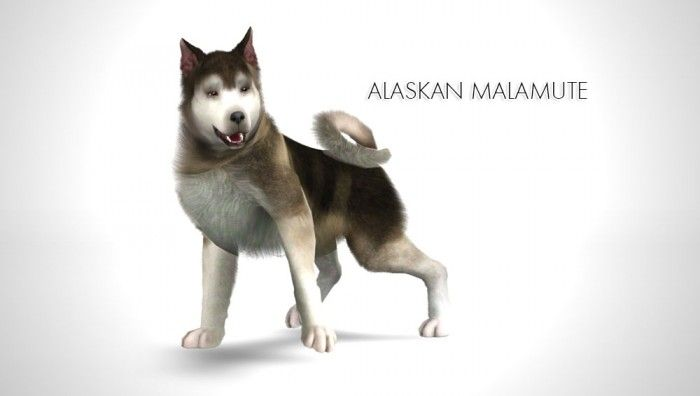 Improved Alaskan Malamute By Morganabanana Sims 3 Downloads Cc Caboodle Sims Pets The Sims 3 Pets Sims