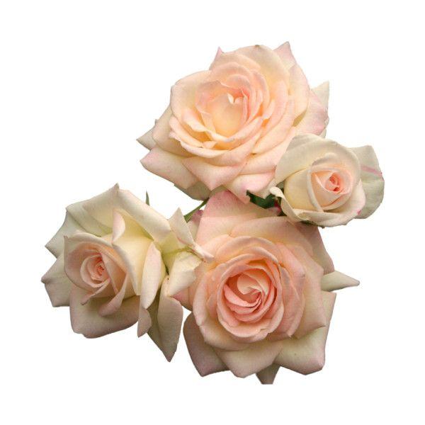 Posts Flower Roses Png Transparent Pink Roses Png Pink Rose Tattoos Transparent Flowers Pink Roses Background