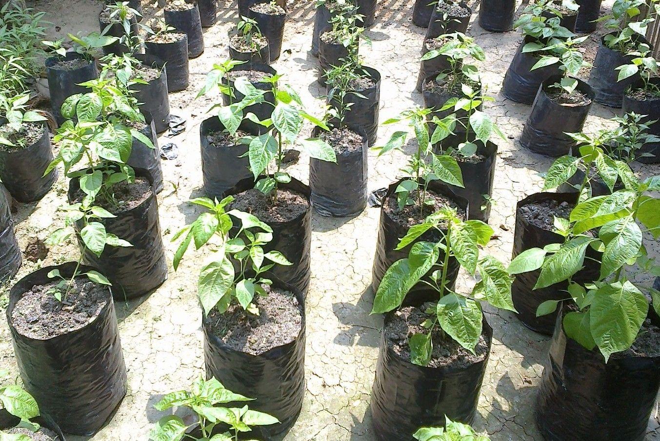 Cara menanam dan merawat monstera (janda bolong). Cara Menanam Cabe Rawit Di Polybag | Menanam, Kebun, Tanaman