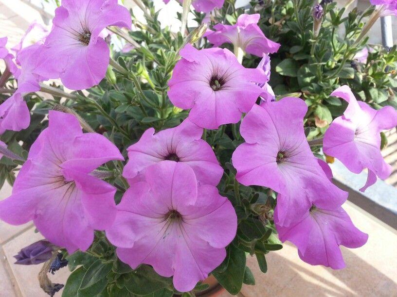 Tamarit 14 Petunia Flowers Plantas Y Flores