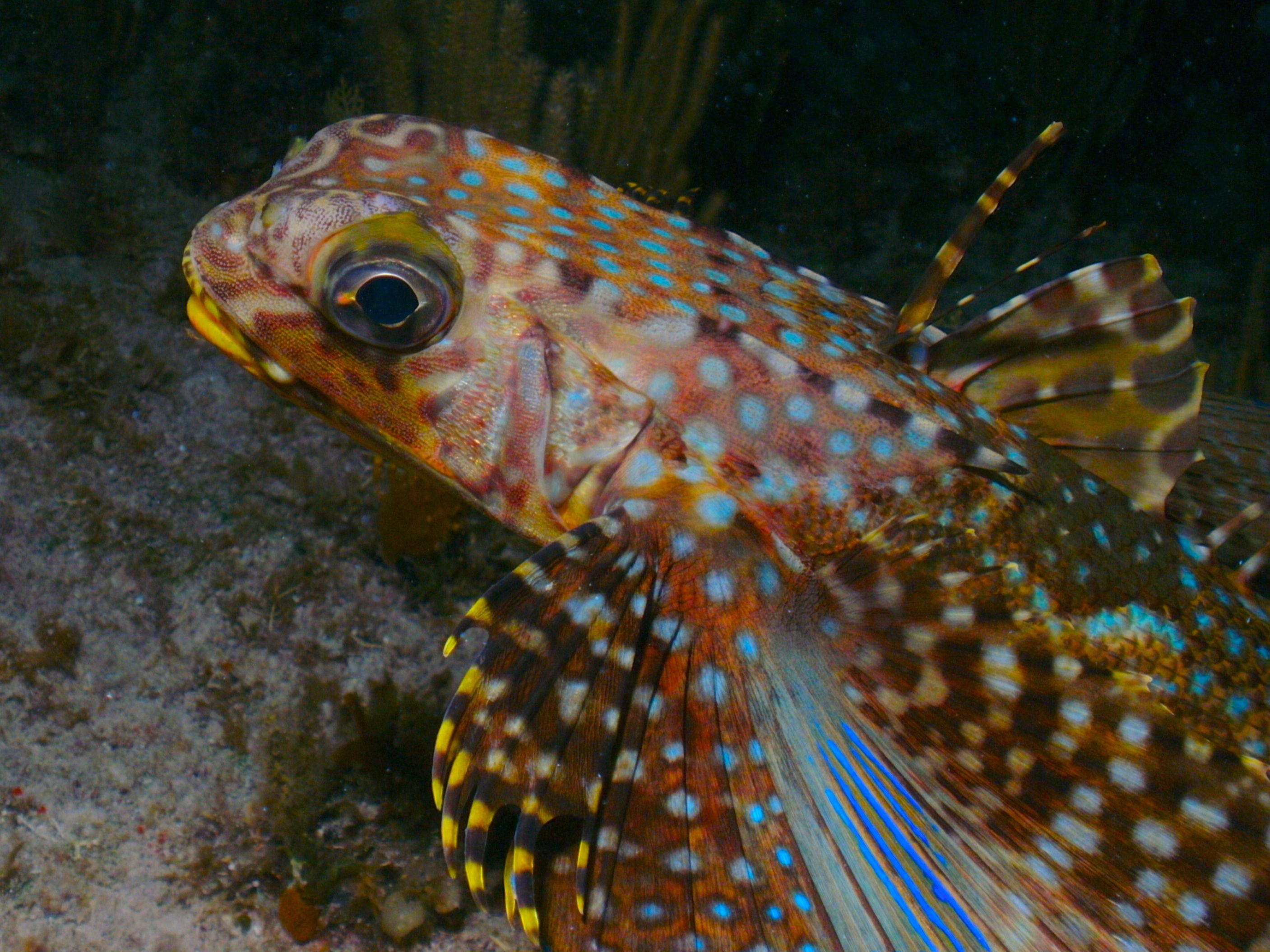 Flying Gurnard, Grand Cayman.  Taken by Terri Bodle with a SeaLife DC1200 camera.