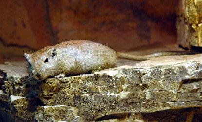 Hechos|     Distri     En el Zoo  Rata del desierto IUCN LEAST CONCERN (LC)    Datos sobre el animal  La rata del de...