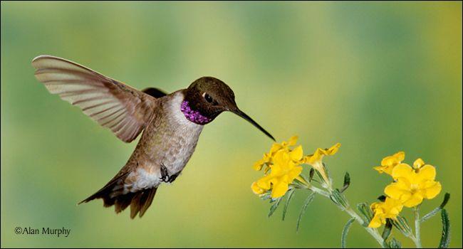 Black Chinned Hummingbird Hummingbird Visit Idaho Image