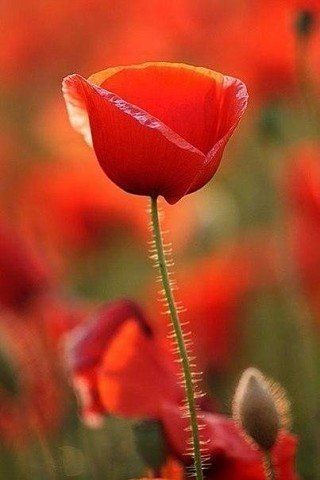 Hamsters needlework schemes embroidery vk poppies poppies are such an underated flower full of crimson beauty and poignant meaning mightylinksfo