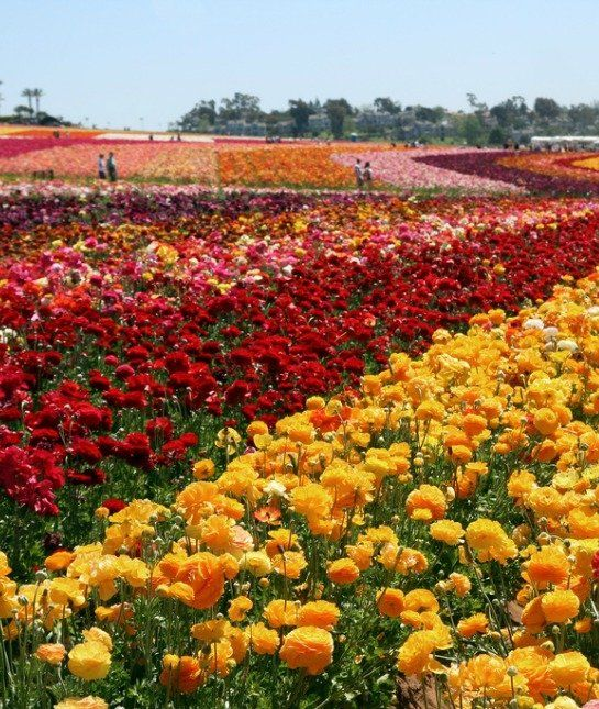 The Flower Fields In Carlsbad, Calif., Put Up A Pretty Good Fight. The  Gardens, Featuring Numerous Types Of Flowers, ...