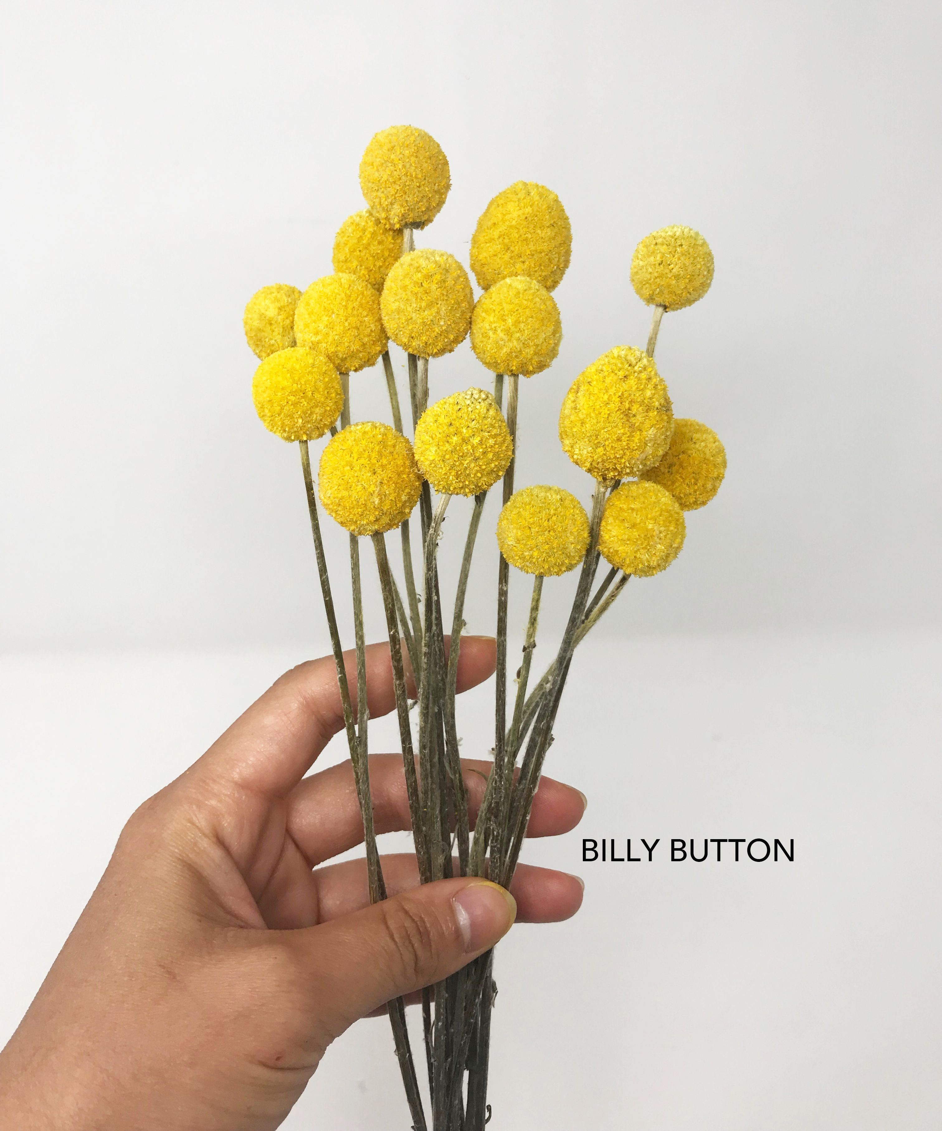 Billy Button How To Preserve Flowers Billy Buttons Very Beautiful Flowers
