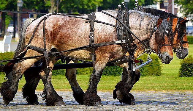5982b4d91b8e5.jpg Horses, Work horses, Horse photos