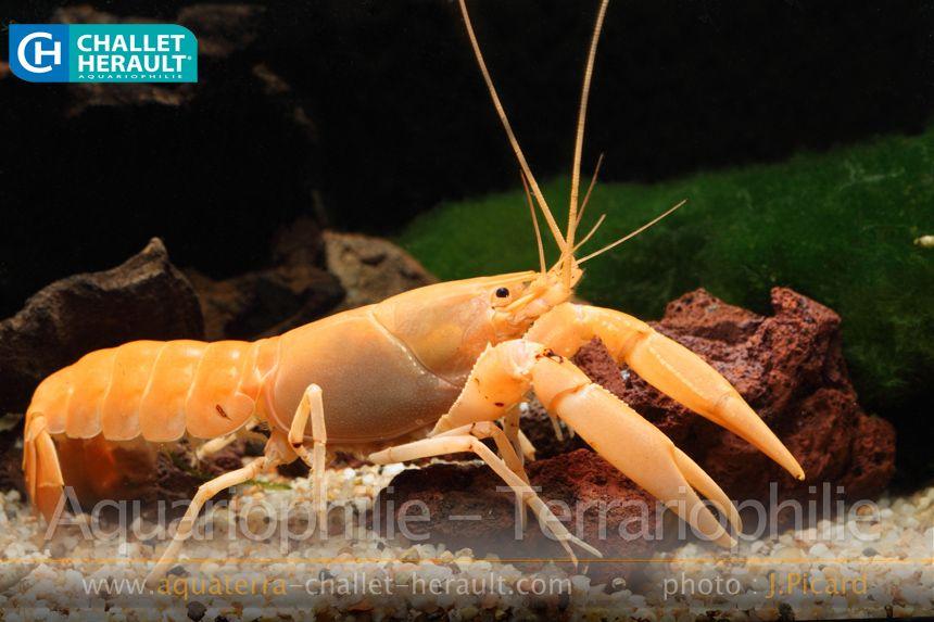 Cherax holthuisi Orange | Challet-Herault Aquariophilie Terrariophilie