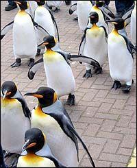 Penguin Parade At Edinburgh Zoo Edinburgh Zoo Penguin Parade Penguins