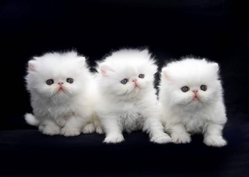 Google Image Result For Http Catshowonline Com Yahoo Site Admin Assets Images Persian Kittens Persian Kittens For Sale Persian Cat White