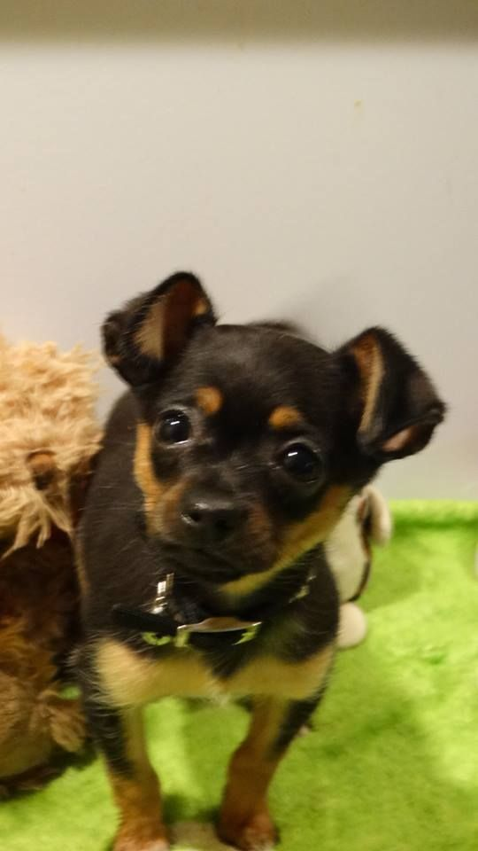 Chipin Dog For Adoption In Vacaville Ca Adn 454793 On Puppyfinder Com Gender Male Age Baby Dog Adoption Dogs Chihuahua Mix