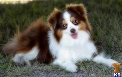 The Nepal Children S Home Toy Australian Shepherd Australian Shepherd Puppies Australian Shepherd