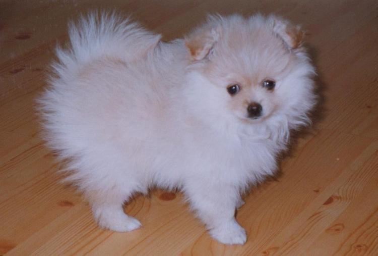 Benben The Pomeranian