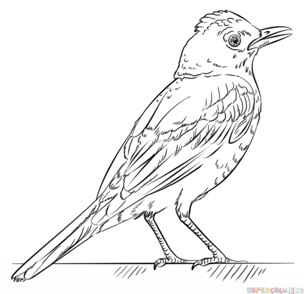 How to draw a robin bird step by