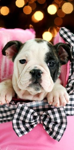 954 353 7864 Www Teacuppuppies Englishbulldog English