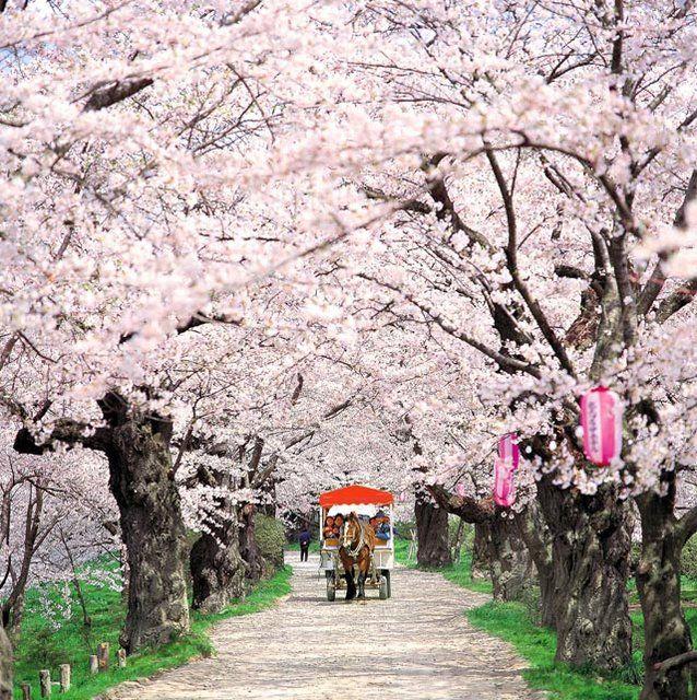 Cherry Blossom Japan Fotografi Alam Fotografi Pohon