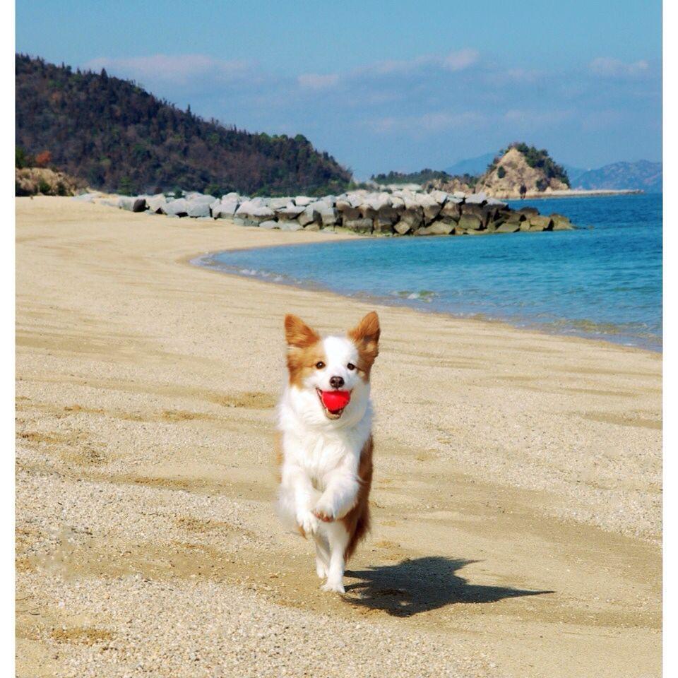 Sandy beach2 #bordercollie #bordercollielife #bordercollielover #bordercolliestagram #bordercolliesofinstagram #dog #doglover #dogscorner #dogstagram #dogoftheday #dogsofinstagram #dogsofinstaworld #ig #igers #ilovedog #instagood #ilovebordercollie #instadog #instabordercollie #pet #petlover #petcorner #petpalace #petstagram #photooftheday #レッドボーダー #ボーダーコリー #aplacetolovedogs by co521co