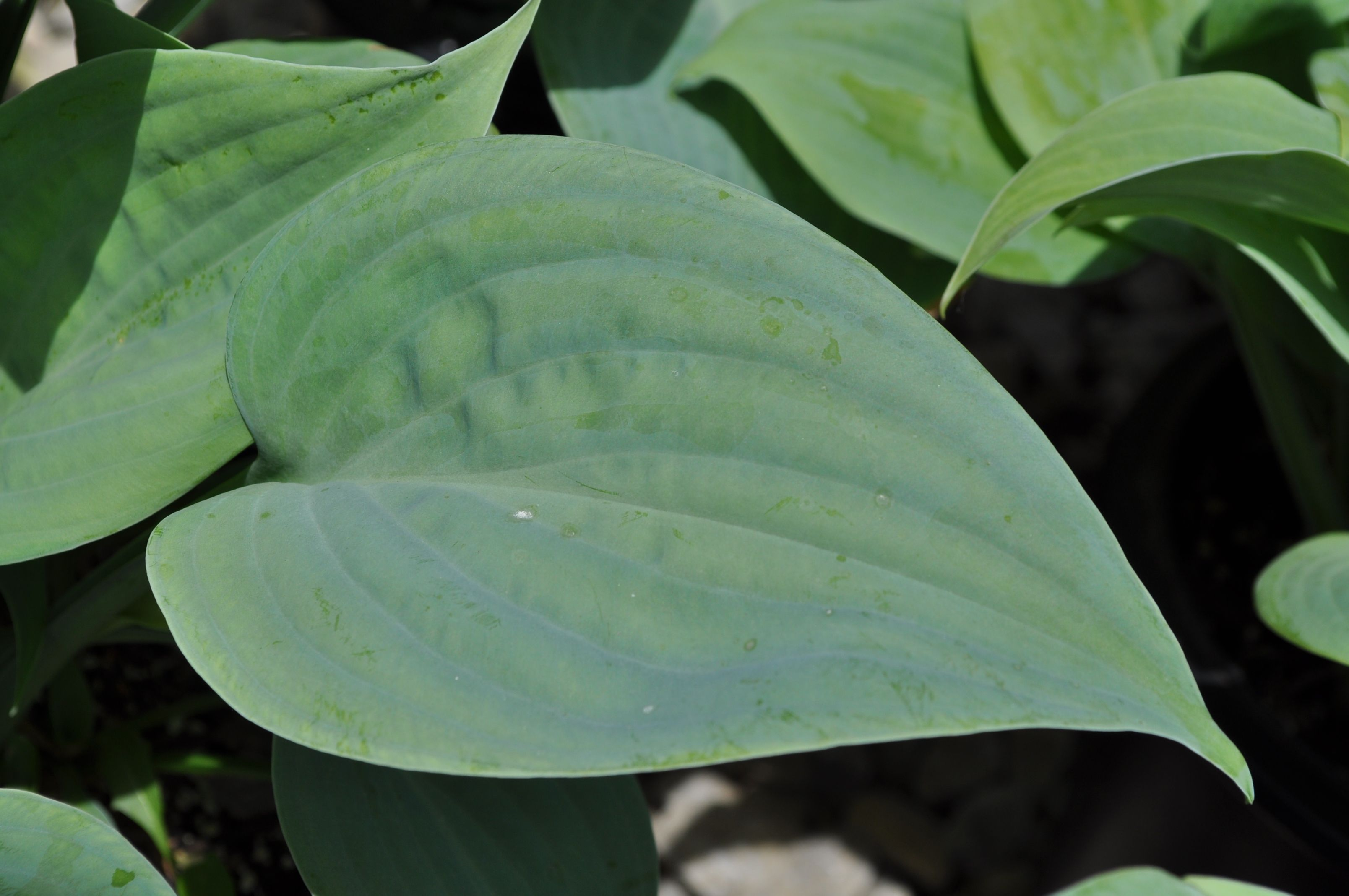 Hosta Fragrant Blue Thick Wavy Chalky Blue Leaves Form