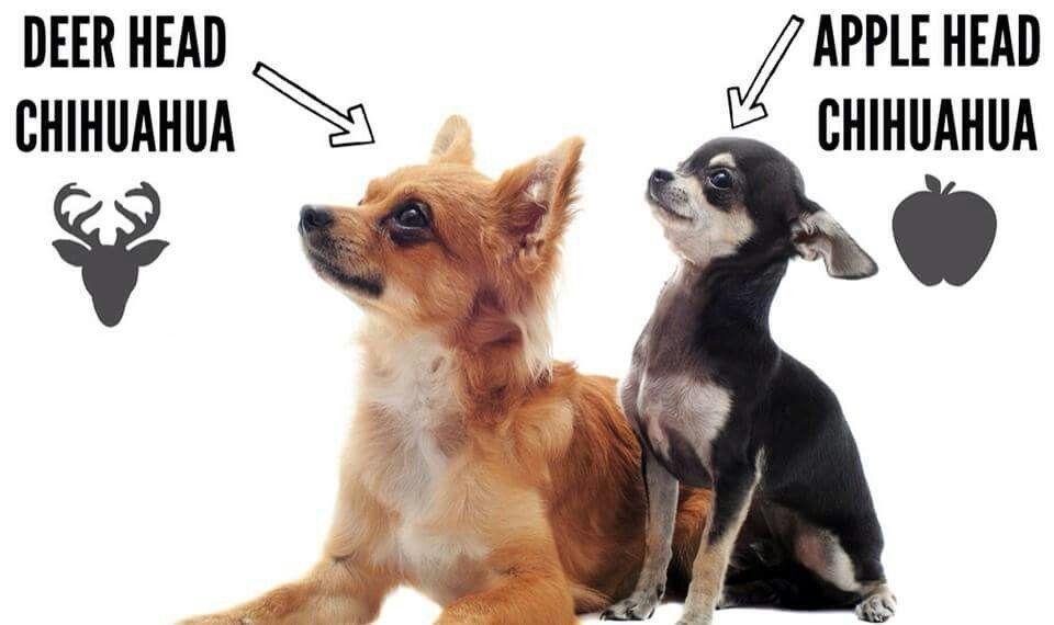 Pin By Marci Love On Chihuahuas Animals Apple Head Chihuahua