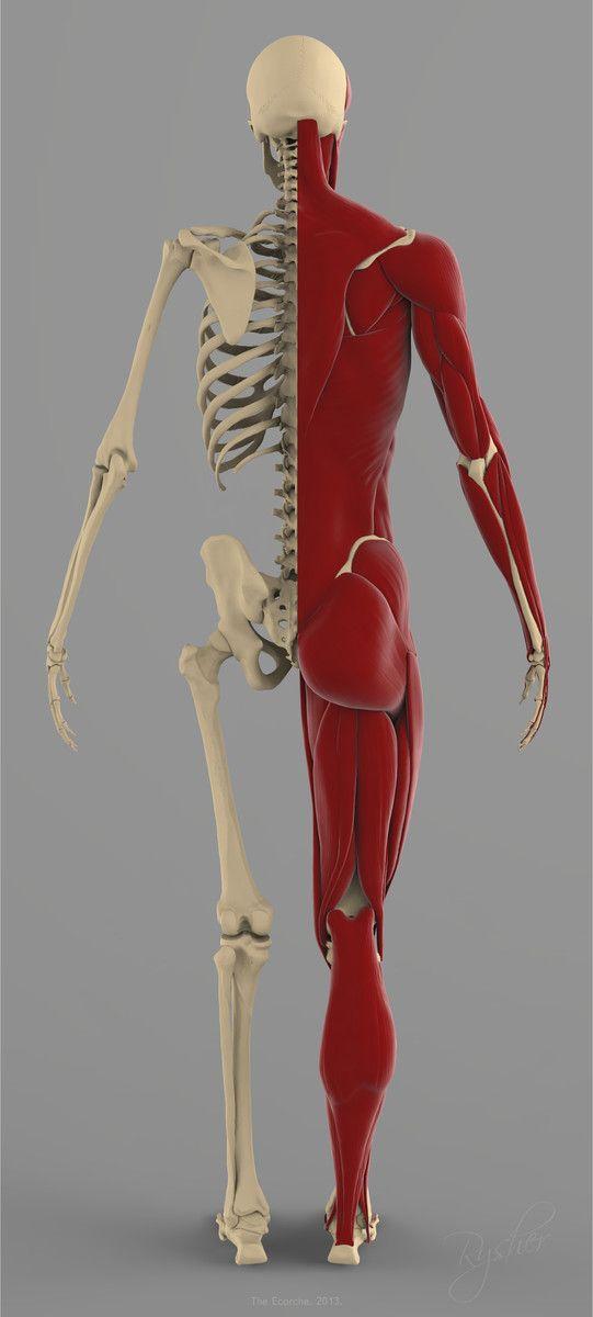 Precise Human Skeleton Muscles 3d Model Pinterest