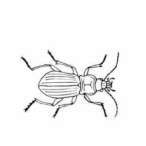 Beetle Coloring Page Beetle Drawing Bug Art Insect Art
