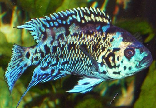 Electric Blue Jack Dempsey I Have One Who S Nearly 9inches Long Very Attractive Fish Can Be Aggressive Tropical Fish Tropical Fish Tanks Fish Tank Supplies