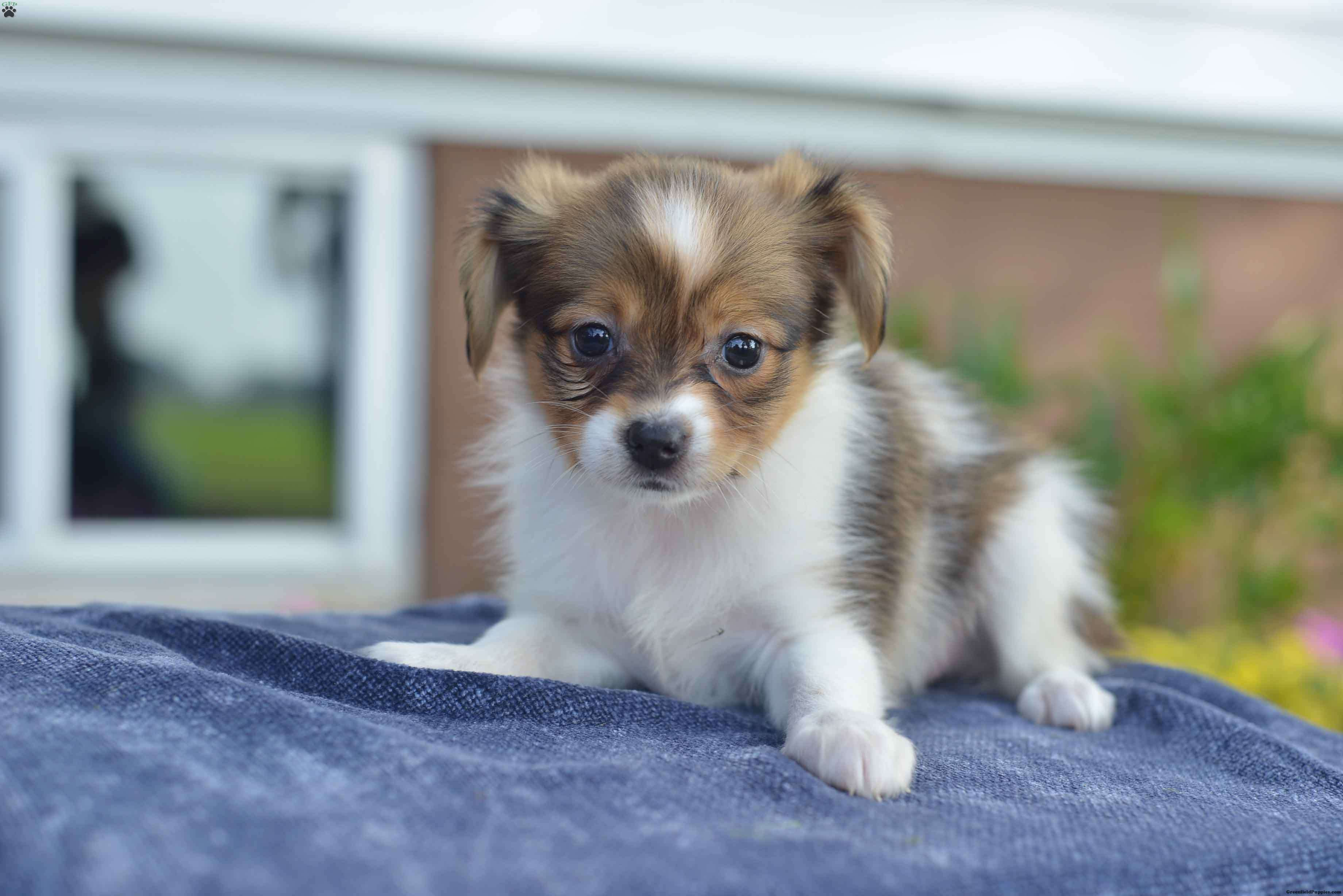 Sprinkles Papillon Puppy For Sale in Ohio Papillon