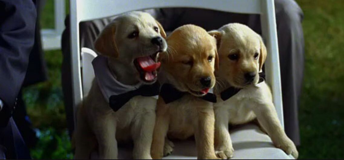 Bridesmaids Movie Puppies Love Pet Cute Animals Dogs Wearing