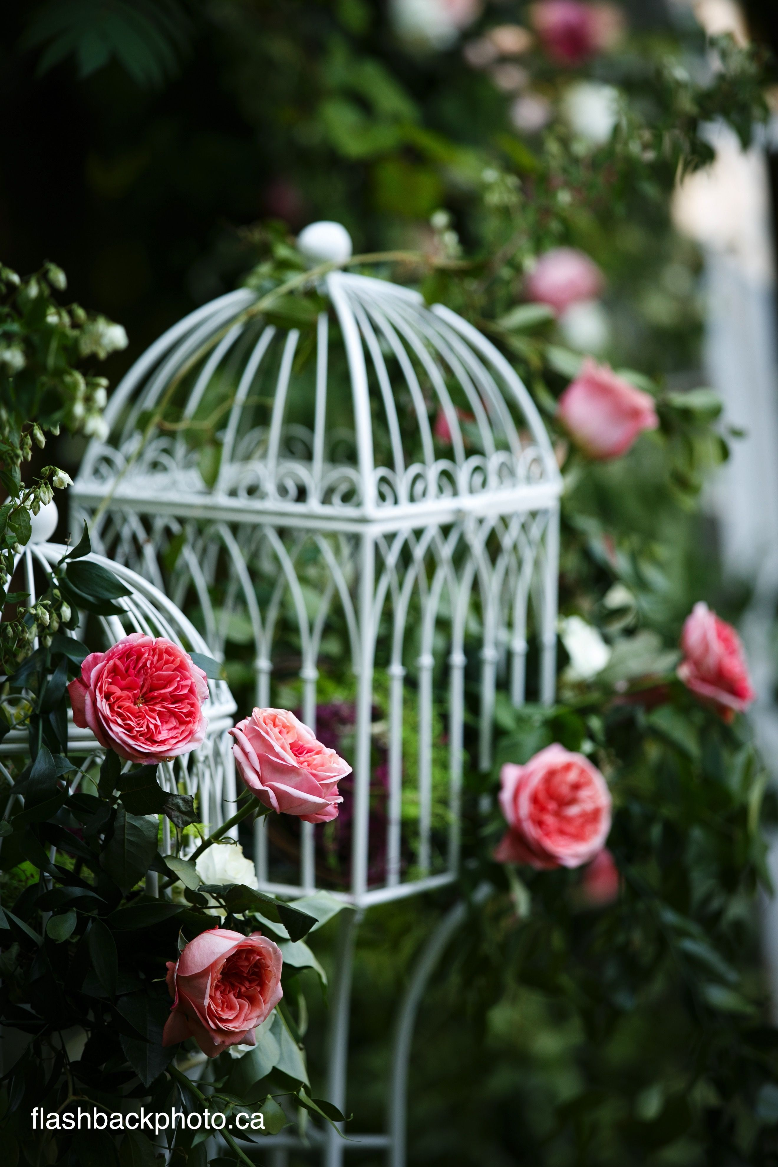 Decorative bird cage draped in roses lining path between ...