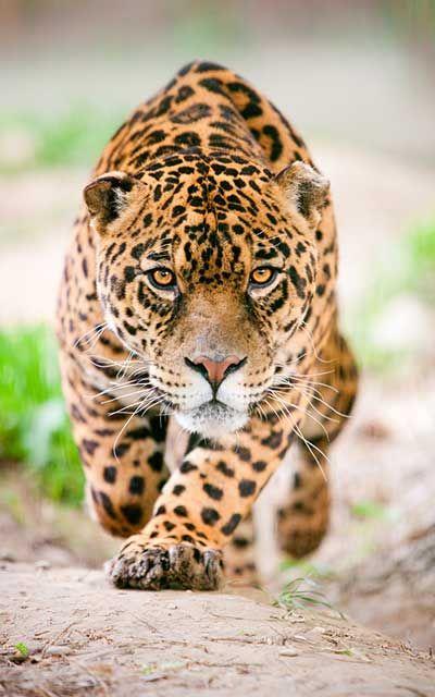 Jaguar - Panthera Onca   Patio silvia   Pinterest   Animales